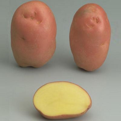 avec tamis amovible fruits et l/égumes 26 cm COM-FOUR/® Presse /à pommes de terre presse /à main pour pommes de terre 01 pi/èce - V2 id/éal pour pur/ée de pommes de terre et spaetzle fin